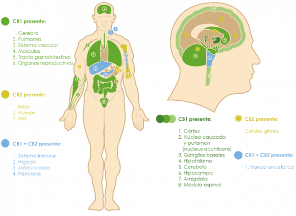 Distribución de receptores cannabinoides en humanos.
