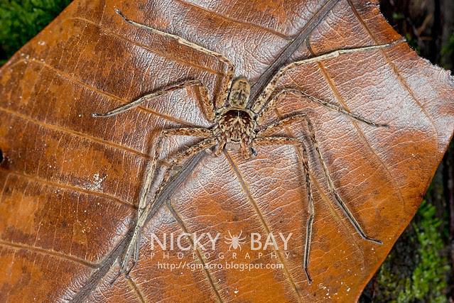 Huntsman Spider (Sparassidae) - DSC_9992