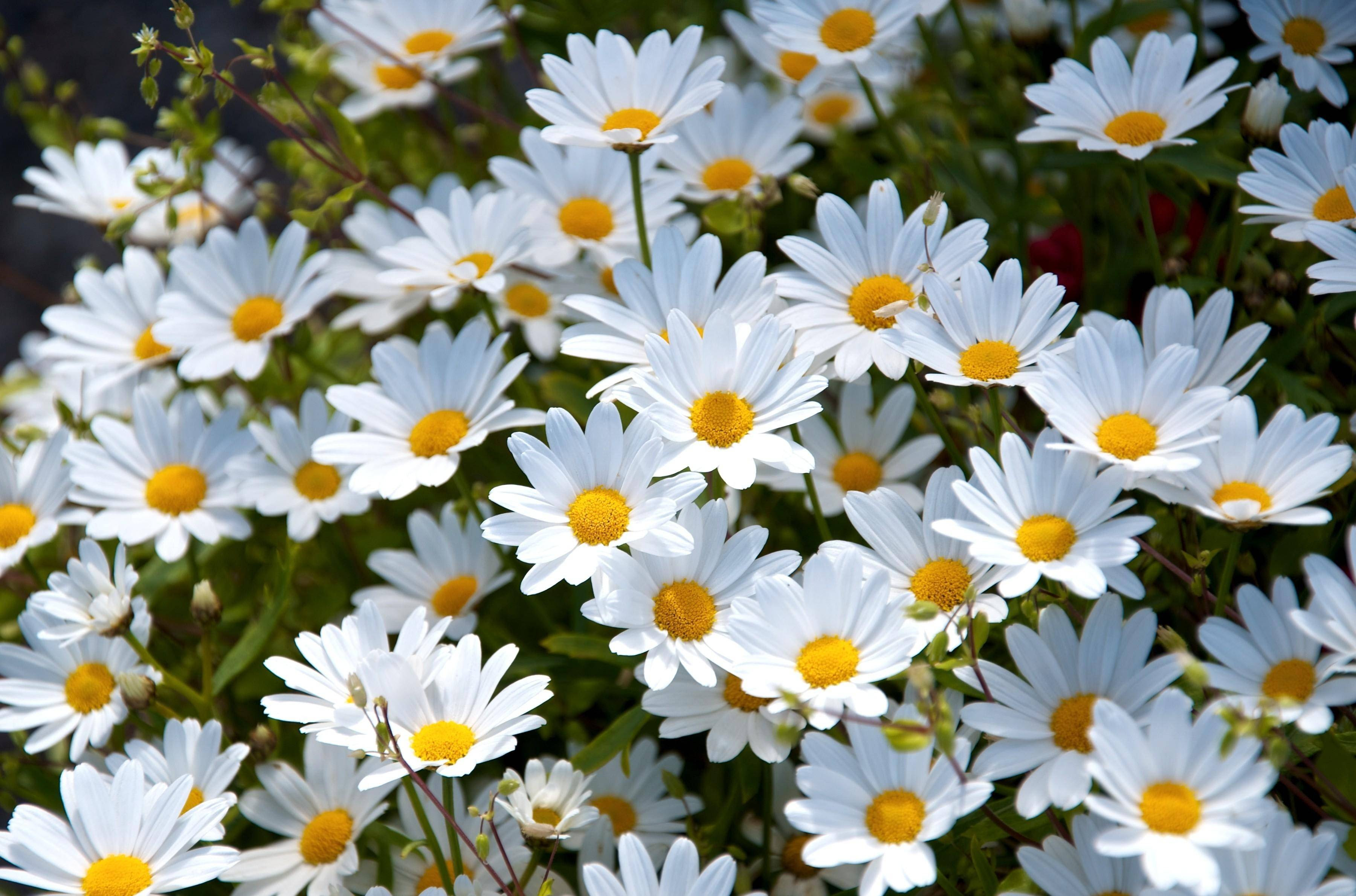 Daisy Wallpapers - Wallpaper Cave
