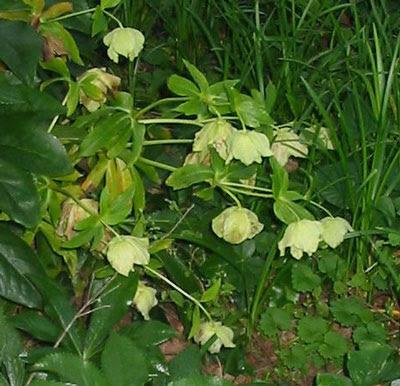http://almostgotit.files.wordpress.com/2007/05/betsys-lenten-roses.jpg