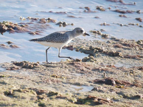 Ed Gaillard: birds &emdash; Black-Bellied Plover, New Providence, Bahamas