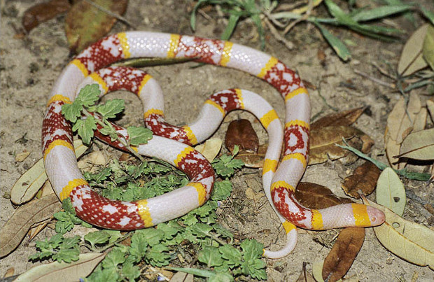 The Most Common Myths About Coral Snakes The Venom Interviews