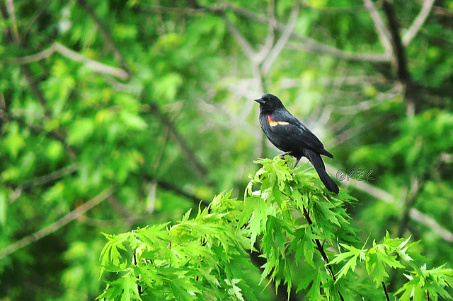 IMG_3428Red-WingedBlackbird