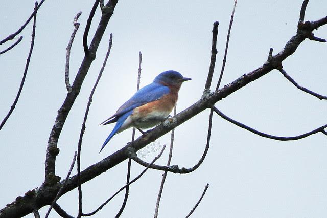 IMG_3478EasternBluebird