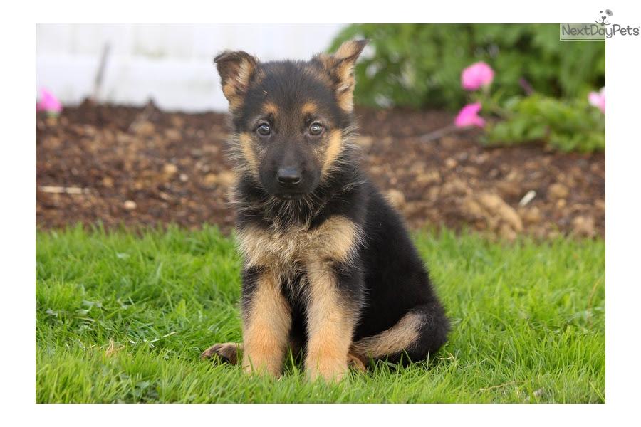 Buy German Shepherd Puppy For Sale Near Me In Germany