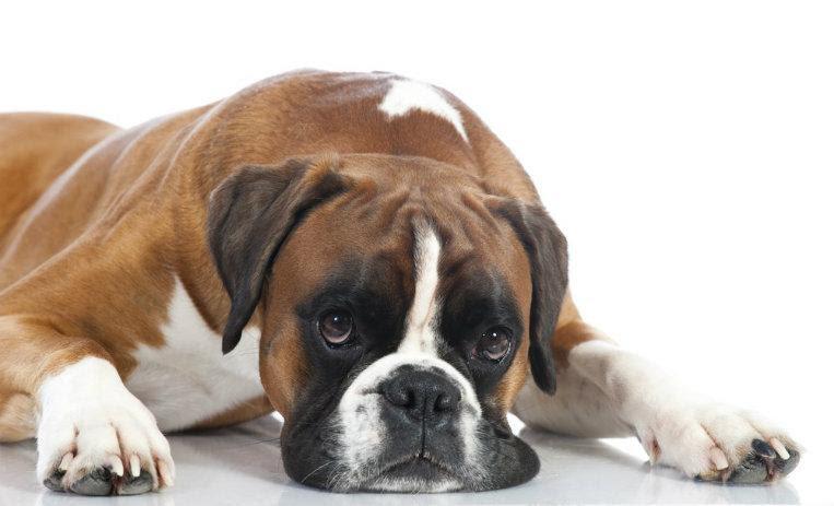 10 Cosas Que Sólo Los Dueños De Un Bóxer Entienden Instituto Perro