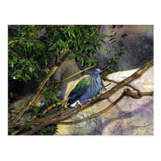 Nicobar Pigeon Post Cards