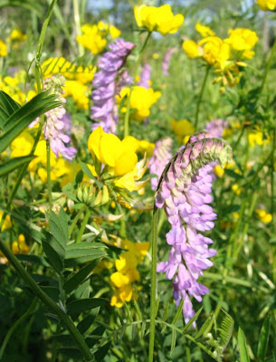 American vetch and bird's foot trefoil