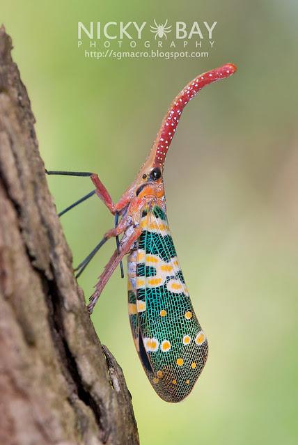 Lantern Bug (Pyrops candelaria) - DSC_3763