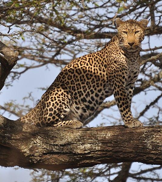 File:Leopard standing in tree 2.jpg