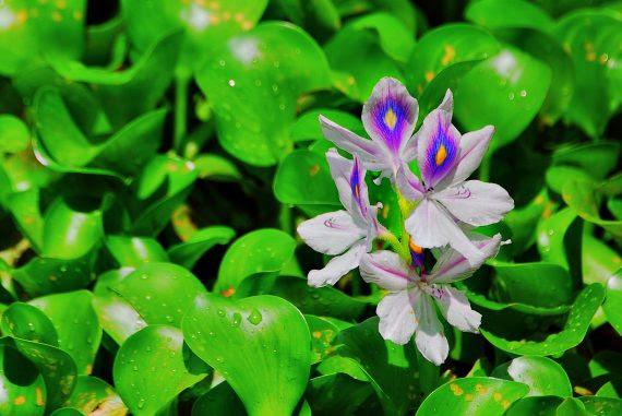http://www.abbevilleinstitute.org/wp-content/uploads/2016/06/Water_hyacinth_flower_1-e1468073100199.jpg