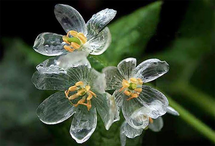 Цветок с прозрачными лепестками