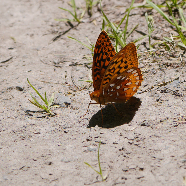 Ed Gaillard: insects &emdash; Great Spangled Fritillary butterfly, Prattsville NY