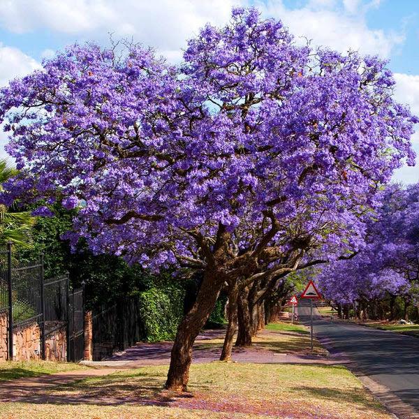 Jacaranda Trees For Sale Fastgrowingtrees Com