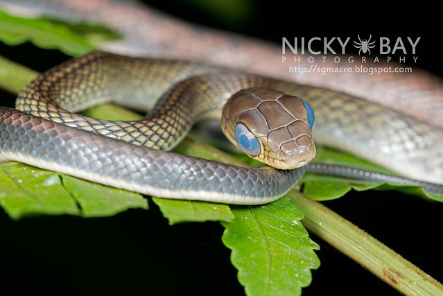 White bellied rat snake (Ptyas fusca) - DSC_2207