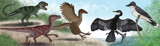 Dinosaur to Bird Evolution