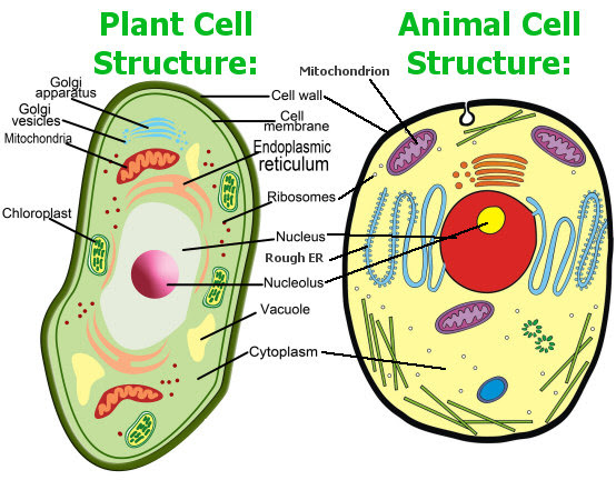 plant animal_cell