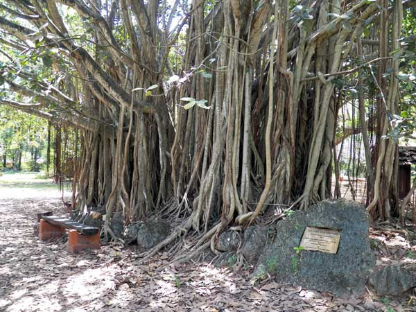 Indian Banyan, Ficus benghalensis,  Mombasa, Kenya, photo © by Michael Plagens