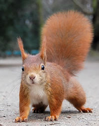 ALL ABOUT SQUIRRELS Website: Red Squirrel Article