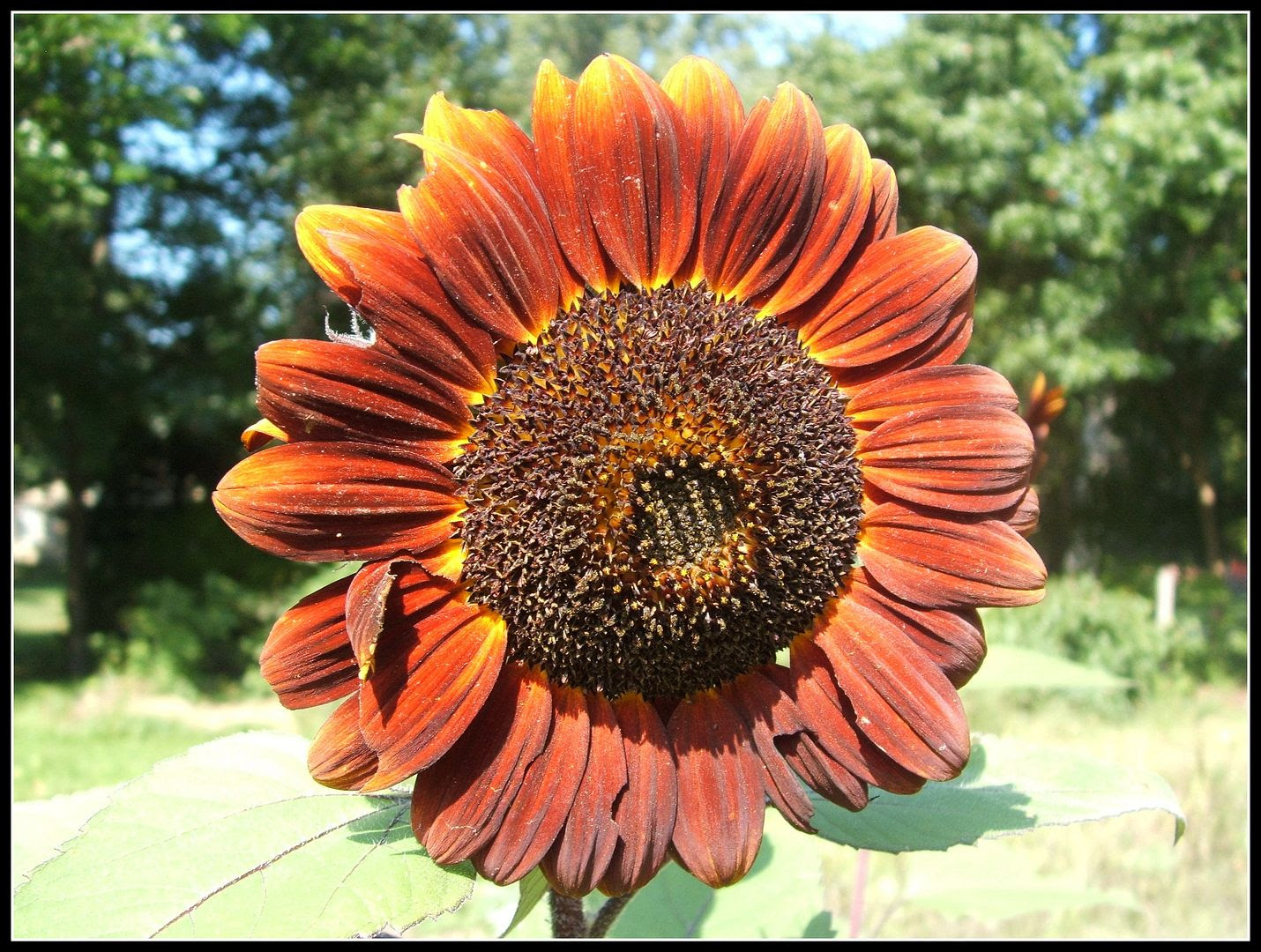Prado Sunflowers by Angie Ouellette-Tower for godsgrowinggarden.com photo 007_zpsaa27b899.jpg