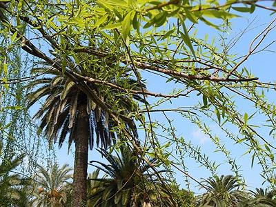 palmiers .jpg