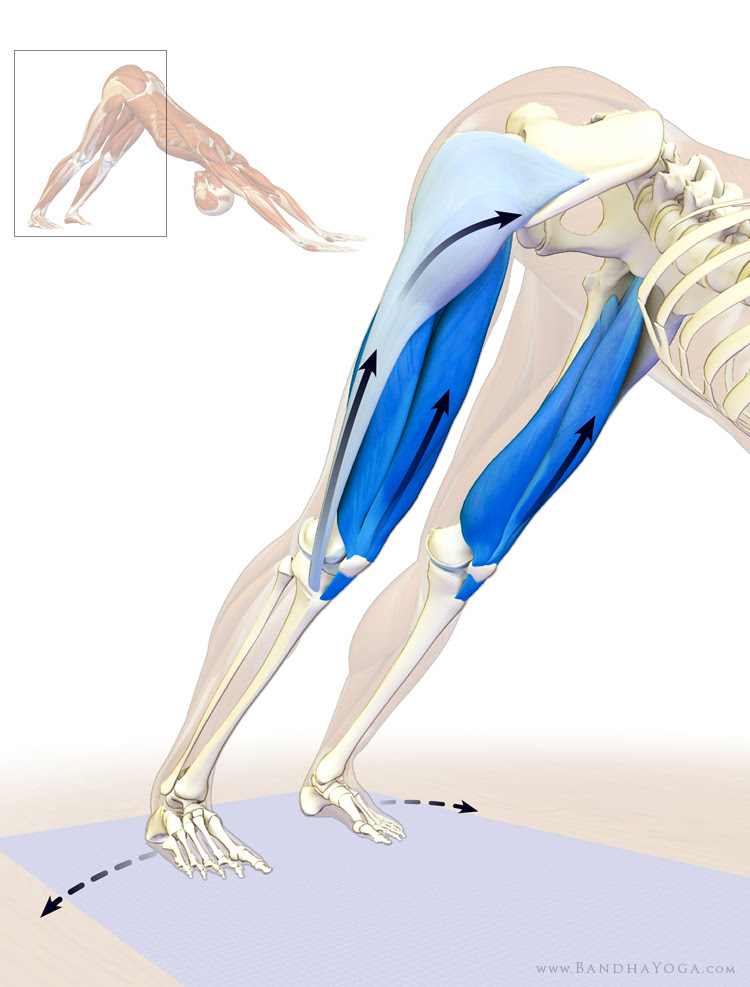 quadriceps and tensor fascia lata in downward dog