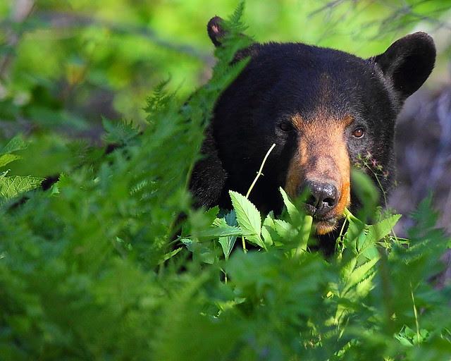 IMG_4347 Black Bear, Glacier National Park