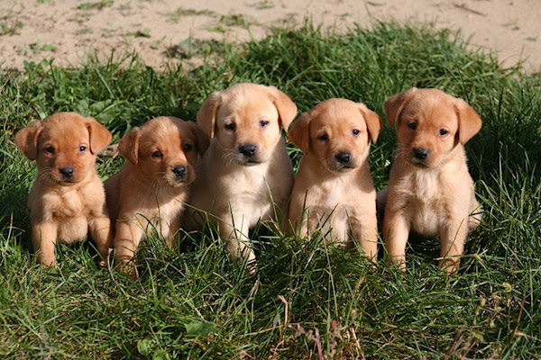 Puppy For Sale In Minnesota Petswall