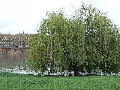 arbre le long de la Garonne.jpg