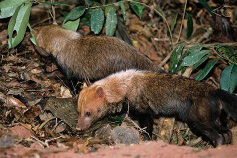 Raro cachorro vinagre é registrado vivo em MG   WWF Brasil