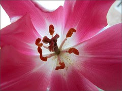 Pink tulip, fully open