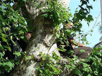 sur les arbres, prêts à tout ....jpg