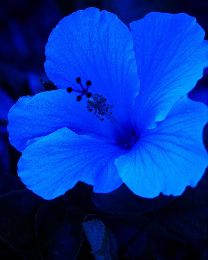 1 big blue hibiscus florene welebny