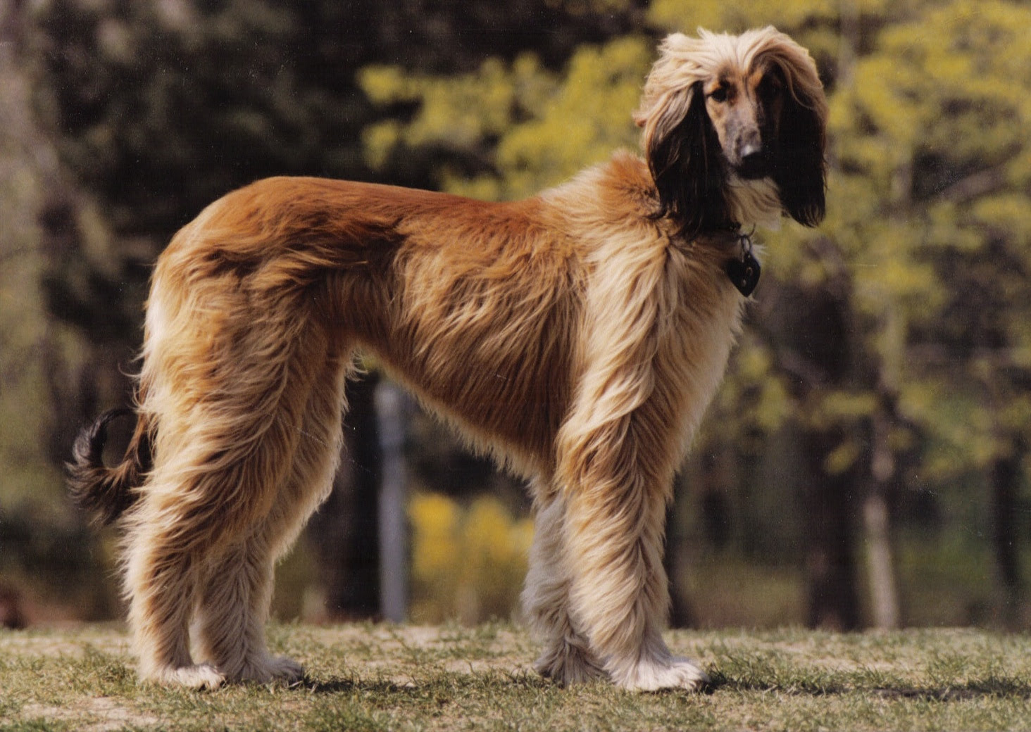 Afghan Hound Info, Temperament, Mixes, Training, Puppies, Pictures