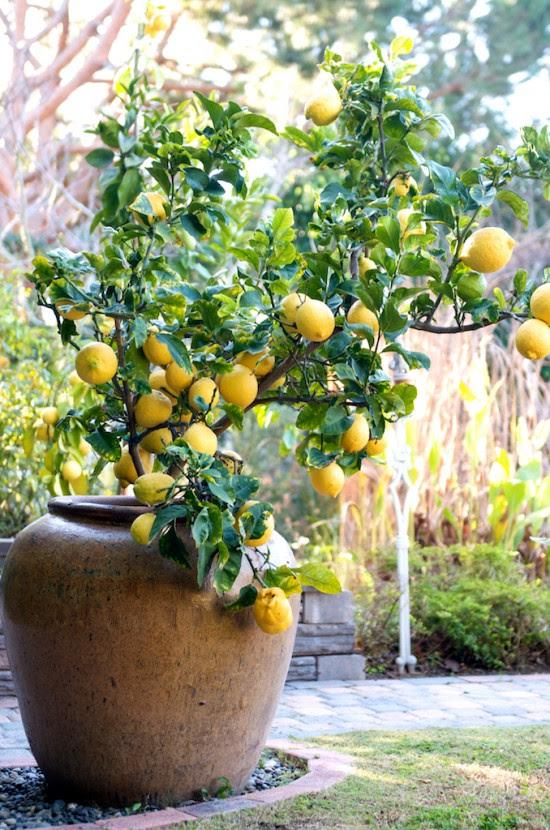 lemon tree container 11 550x830