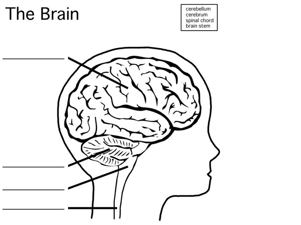 Brain Lobes Diagram Unlabeled - Aflam-Neeeak
