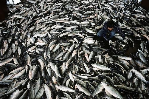 每年冬季冬至過後,中國沿海的烏魚會洄游南下產卵,經過台灣海峽,從鹿港附近逐漸靠近台灣沿岸,一直沿著海岸線南下到屏東南方外海交配後折返北方。圖片來源:這是我的魚類專題郵票 生態 魚類 漁業 垂釣部落格