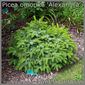 Picea omorika 'Alexandra' - Świerk serbski