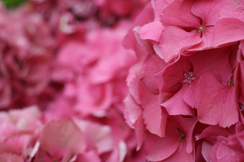 Lacecap Hydrangea in Pink II (SOTC 54/365) by gina.blank