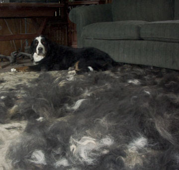 Bernese Mountain Dogs Shed