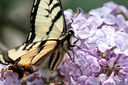 Eastern Tiger Swallowtail (Papilio glaucus)-2.jpg