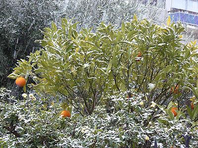 orangers sous la neige.jpg