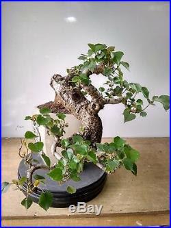 Indoor Bonsai Bonsai Hibiscus Tiliaceus Cascade Style Http Indoorbonsai Biz