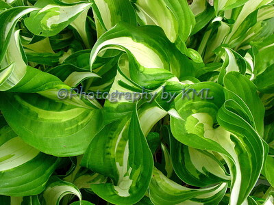 macro of green and cream variegated hosta