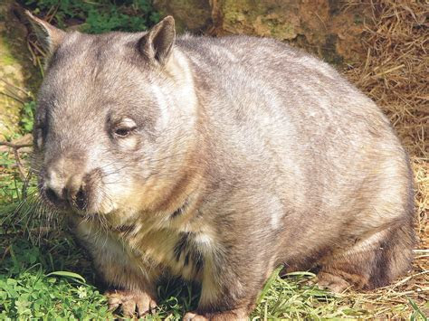 Wombat Wallpapers & Images   Animal Literature