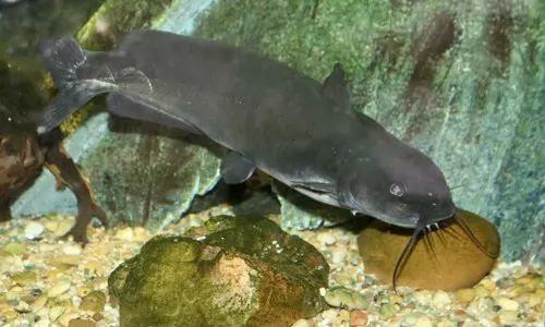 معلومات عن سمك السلور او سمك القرموط بالصور