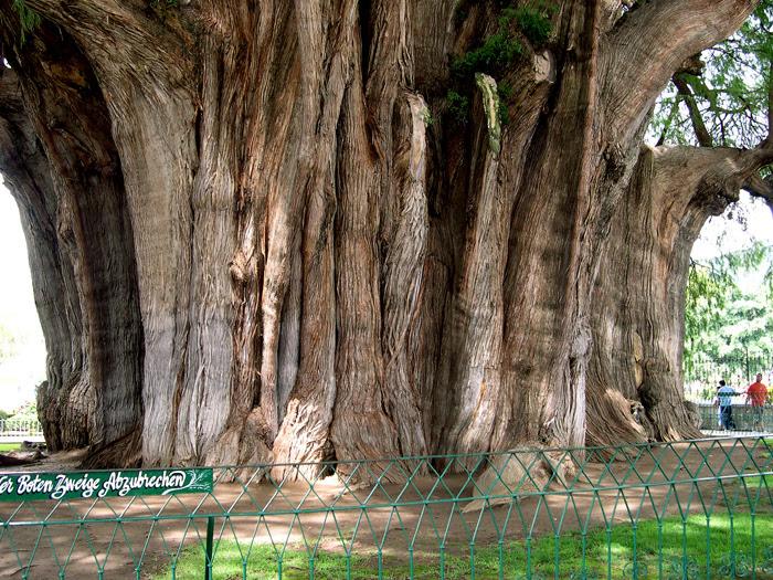 Tule tree, S. Mexico