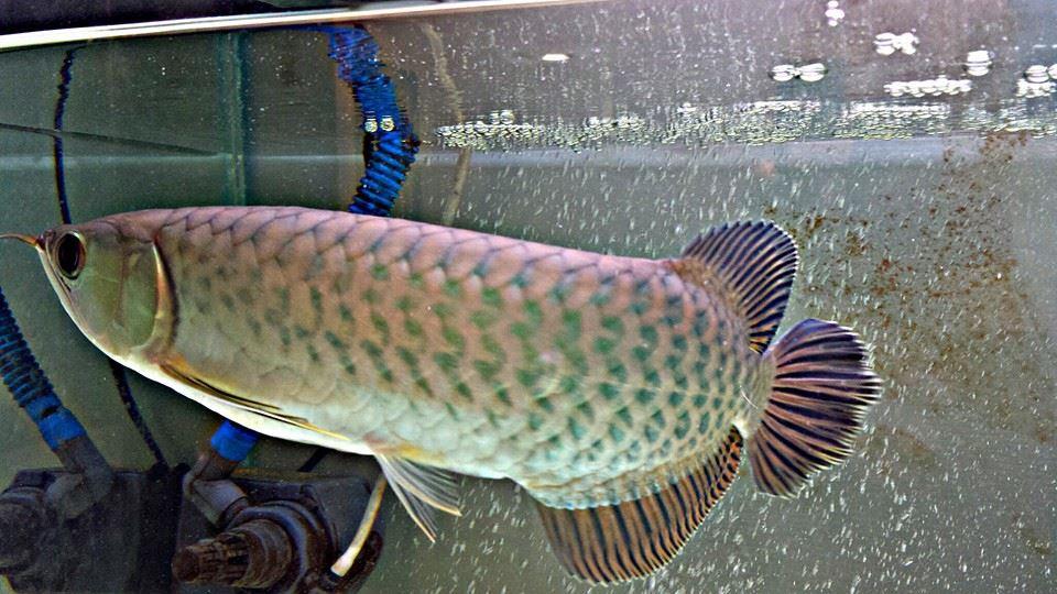 Download 86 Gambar Ikan Arwana Yang Paling Bagus HD Gratis