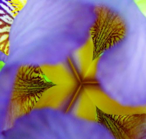 Bearded Iris - Inside Story
