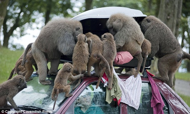 Kawanan monyet baboon di taman safari ini memainkan isi bagasi